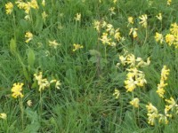 09 cowslips