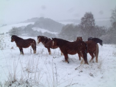 2010 Ponies in the snow web