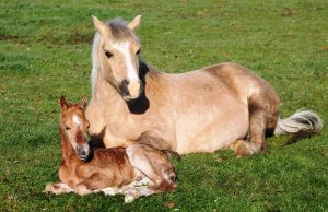 Forlan Honey Bubbles foal 007
